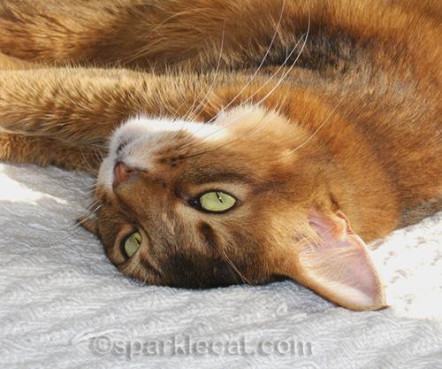 somali cat from January 2006