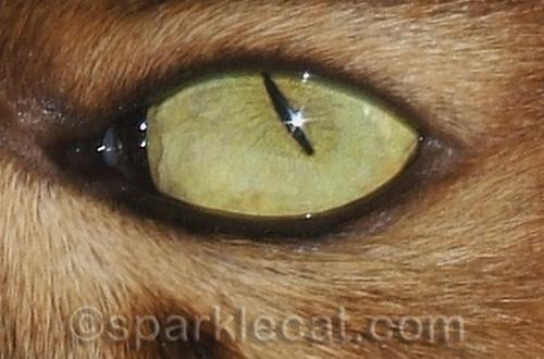 somali cat eye with star highlight