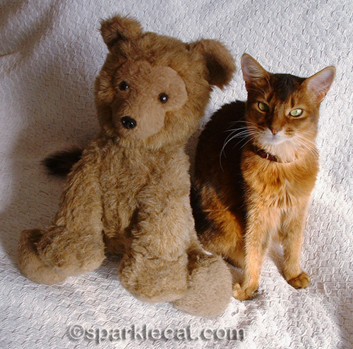 sparkle the somali cat posing with big teddy bear