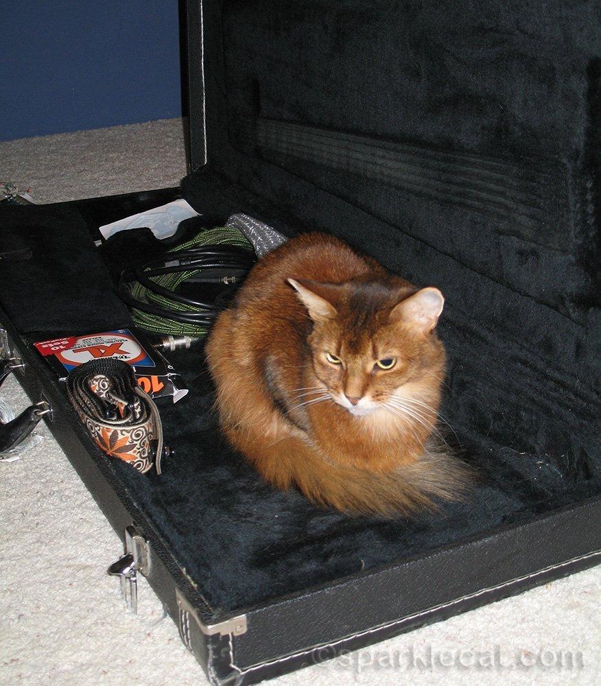 somali cat in guitar case