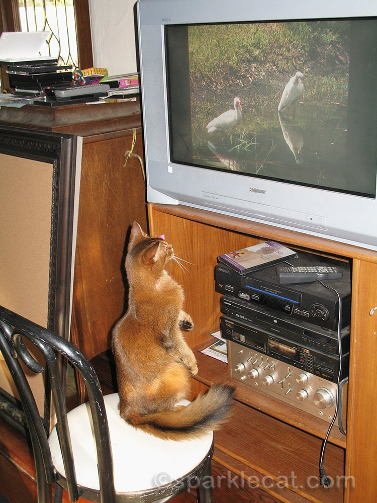 somali cat on hind legs watching TV