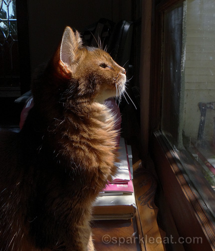somali cat basking in sun puddle