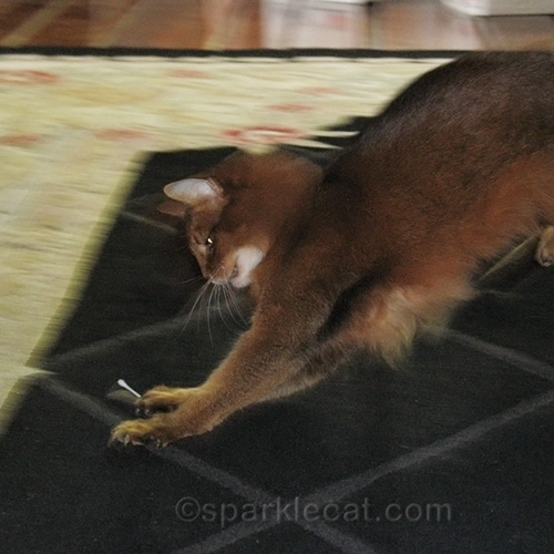 somali cat playing with Q-Tip