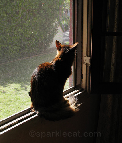 somali cat in dining room window, getting fresh air
