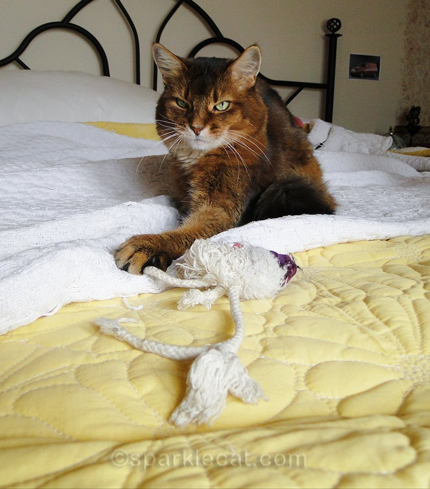 somali cat from before with her own zombie toy