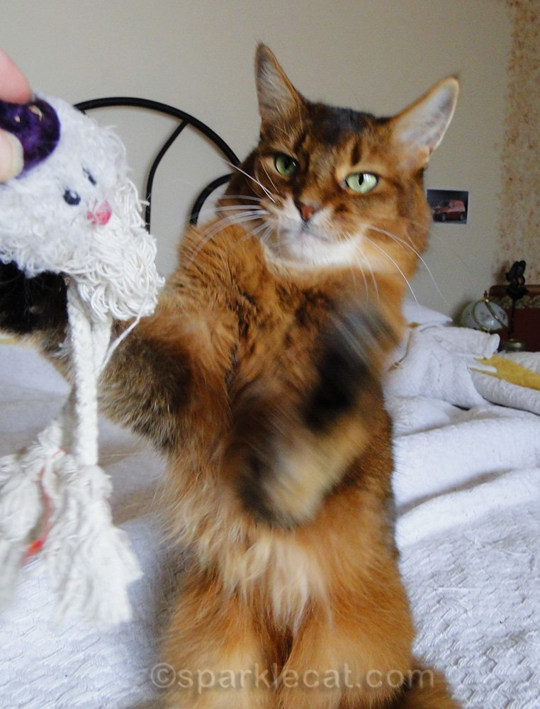 somali cat from before whapping zombie toy