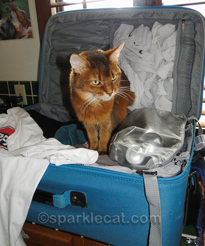 somali cat examining suitcase full of clothes