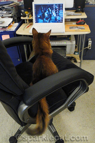 somali cat in office chair, looking at macbook