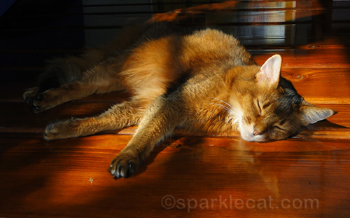 somali cat sleeping in a sun puddle