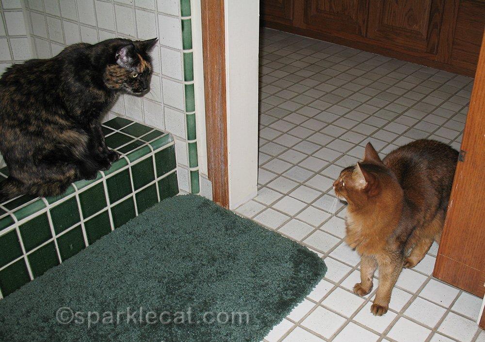 tortoiseshell cat guarding shower from somali cat