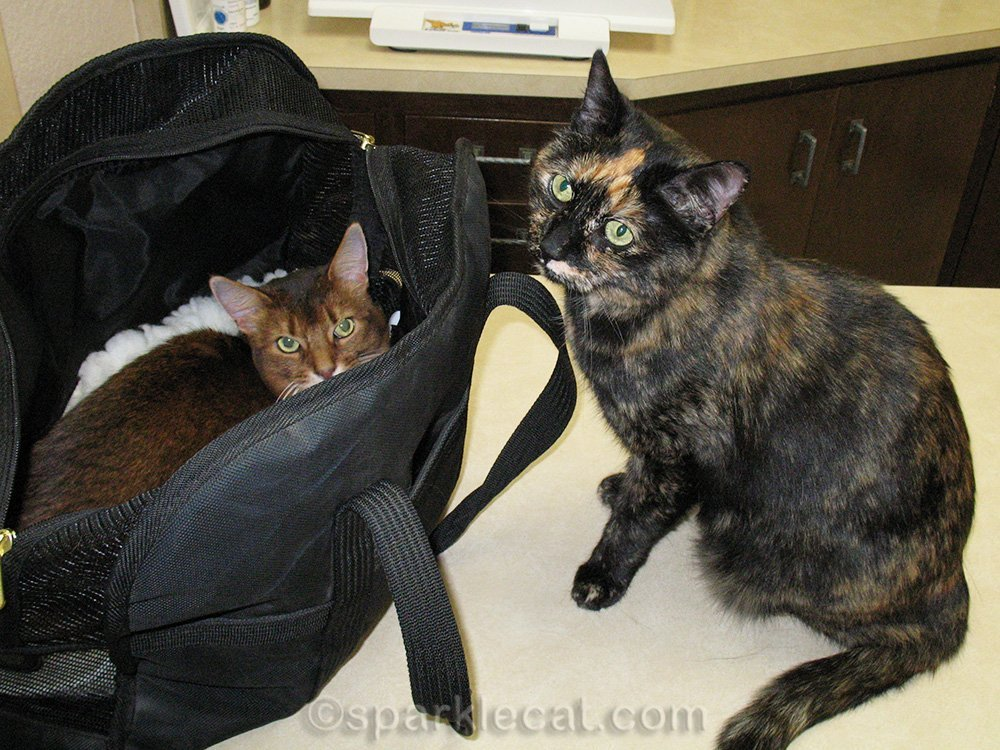 somali cat and tortoiseshell cat at vet clinic