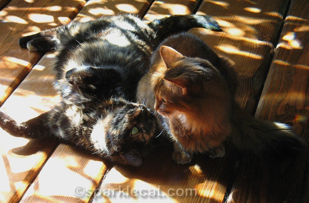 tortoiseshell cat with somali cat