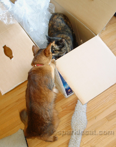 tortoiseshell cat in Christmas tree box, with Somali cat looking at her