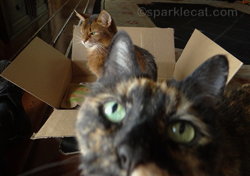somali cat ignoring photo bombing tortoiseshell cat