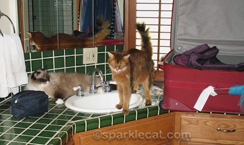 ragdoll cat and somali cat on bathroom counter by suitcase