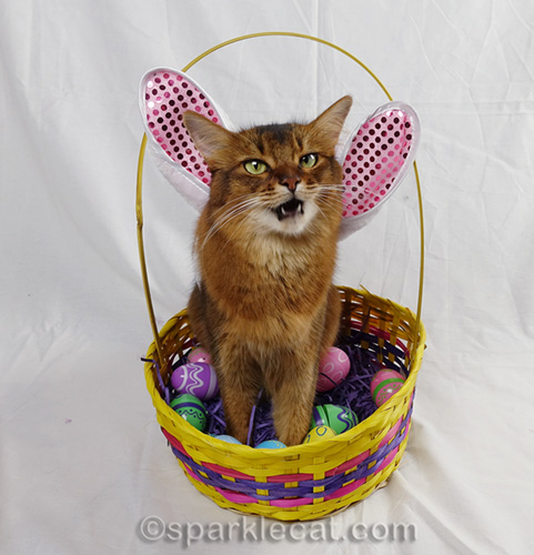 somali cat complaining about wearing bunny ears as wings