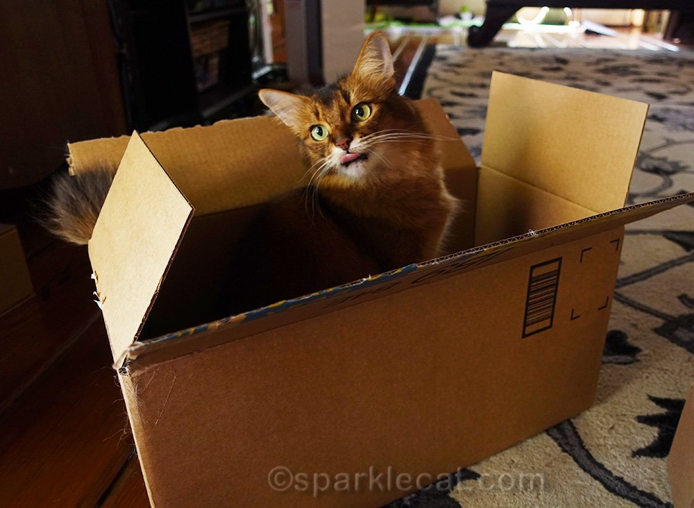 somali cat in box with tongue out