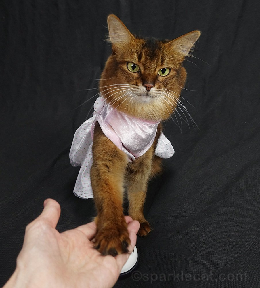 somali cat in dress doing a paw shake