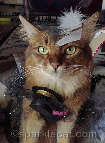 Somali cat, cat with hat, New Year's Day