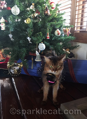 Somali cat, Christmas tree, cat with hat