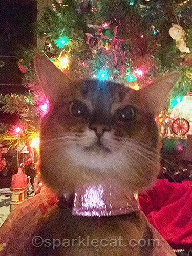 somali cat selfie in front of Christmas tree