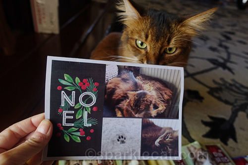 somali cat looking at Christmas card from German Somali cats