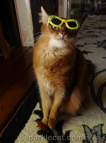 somali cat peeking out from behind sunglasses