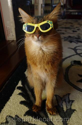 somali cat wearing cool sunglasses
