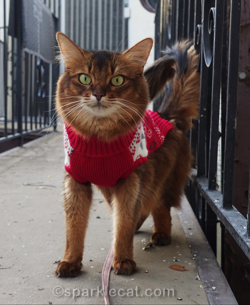 somali cat in sweater spending time outside