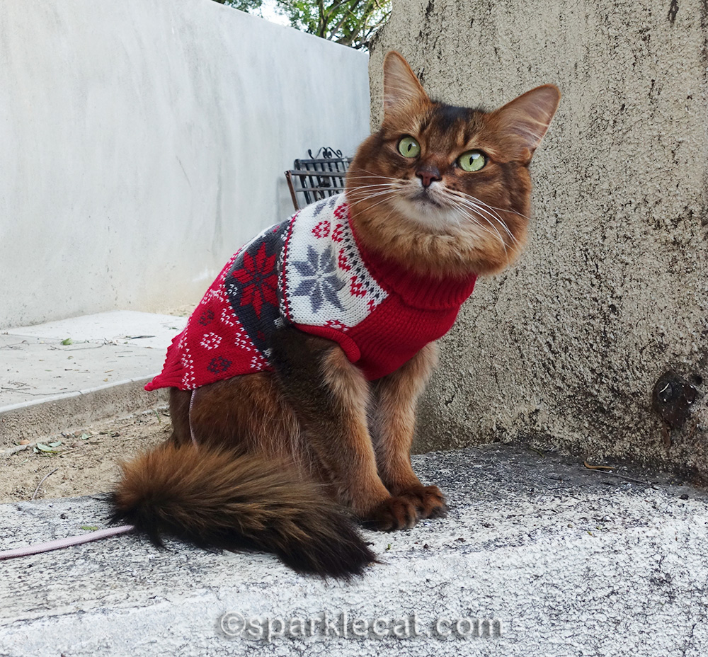 somali cat in sweater watching birds