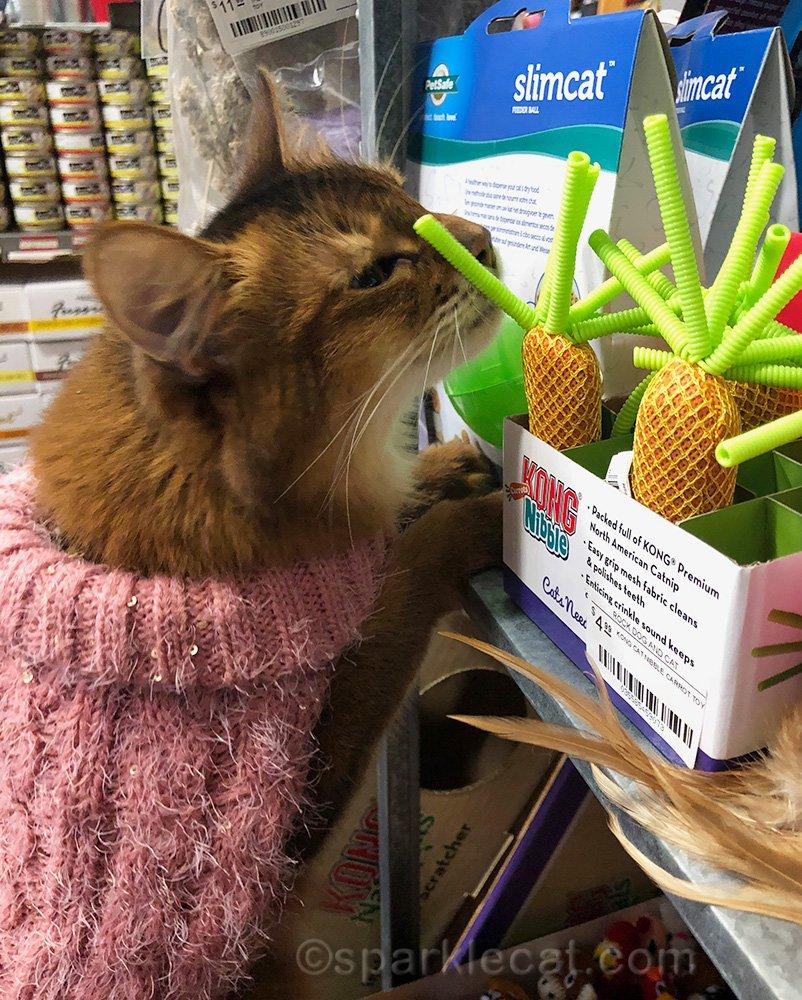 somali cat enjoying the cat toys at the pet shop