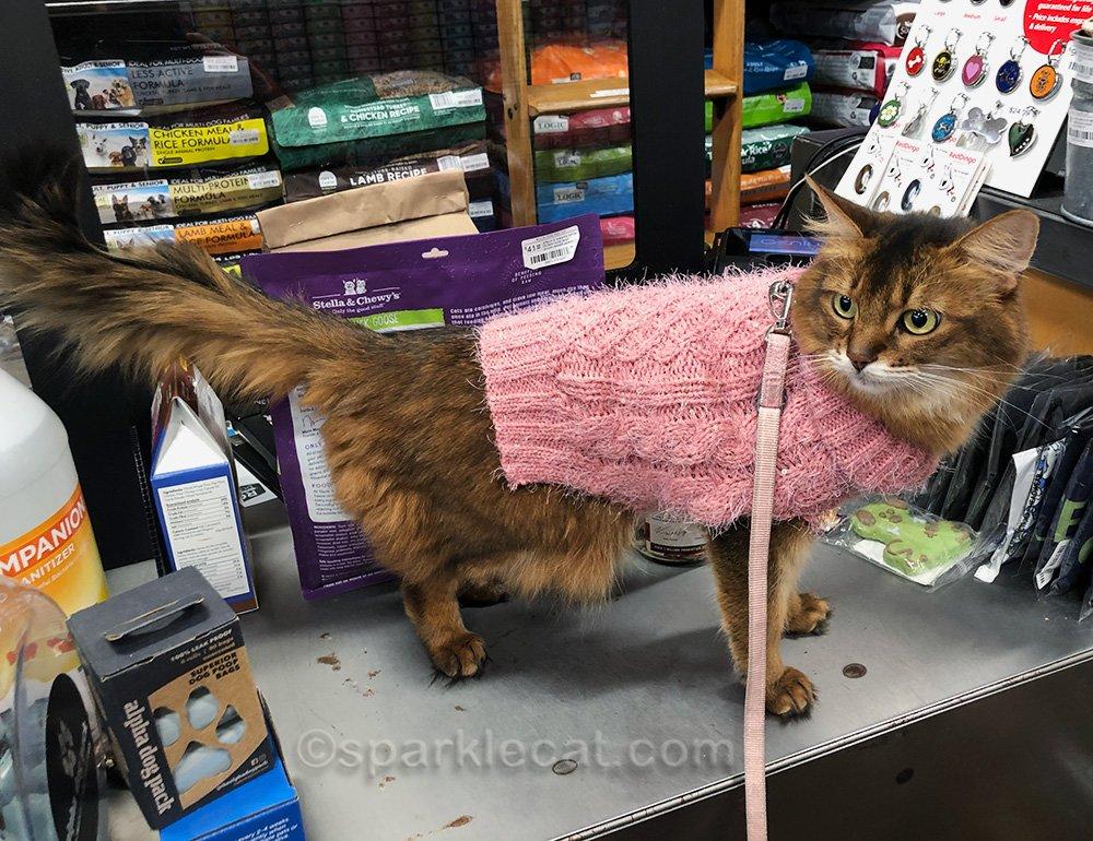 somali cat at checkout counter
