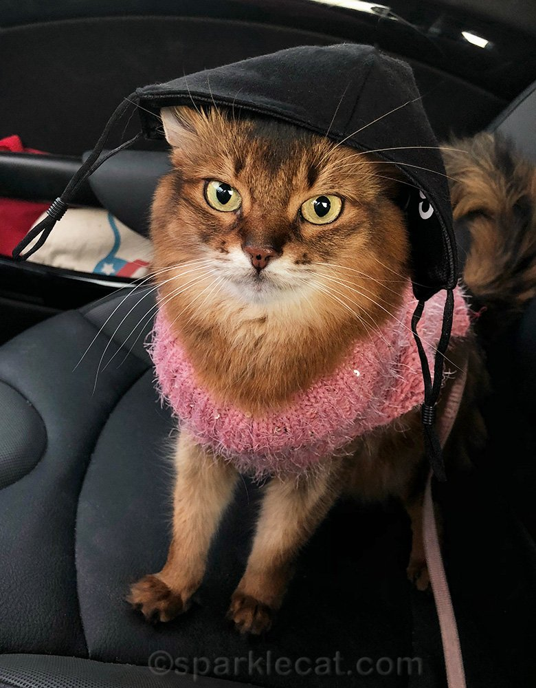 somali cat in car with mask on her head