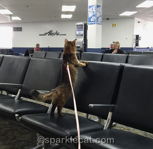 somali cat at boarding gate at Burbank airport