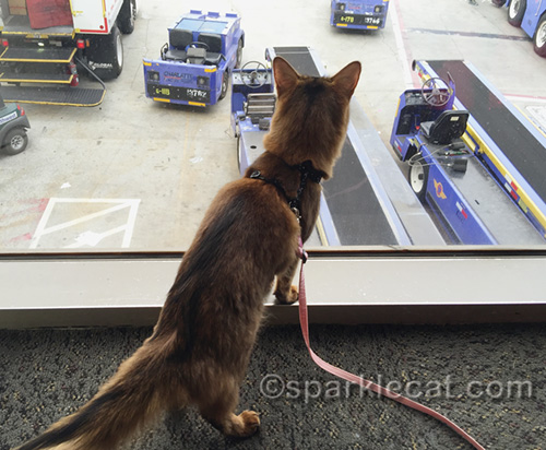 somali cat watching suitcases being put on the plane at an airport
