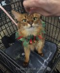 somali cat at pet store, with human's hand in photo