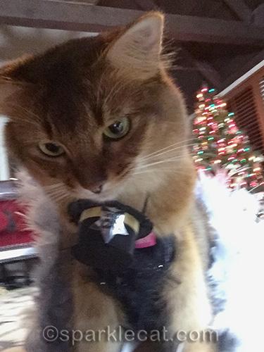 Somali cat, cat selfie, cat hat