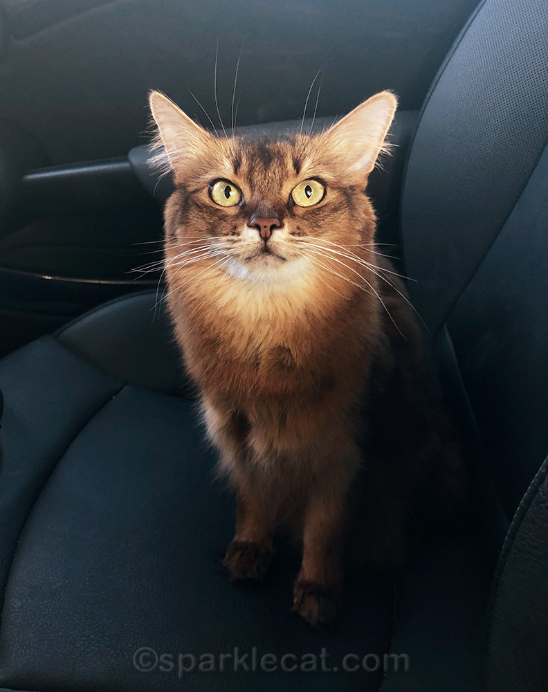 somali cat in car, on a quick trip to the pet store