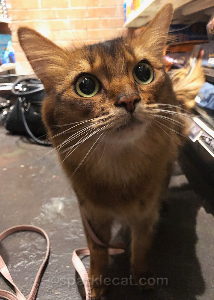 somali cat looking at all the cat food at the pet store