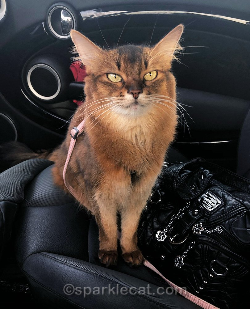 somali cat in car, ready to go shopping