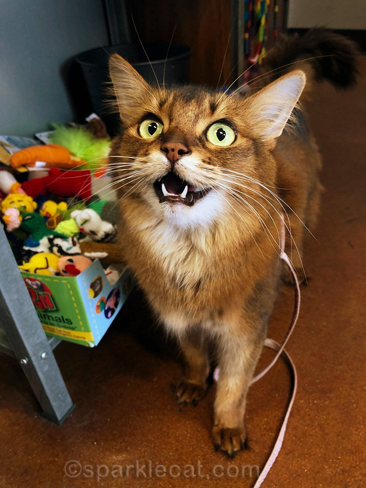somali cat begging for toy