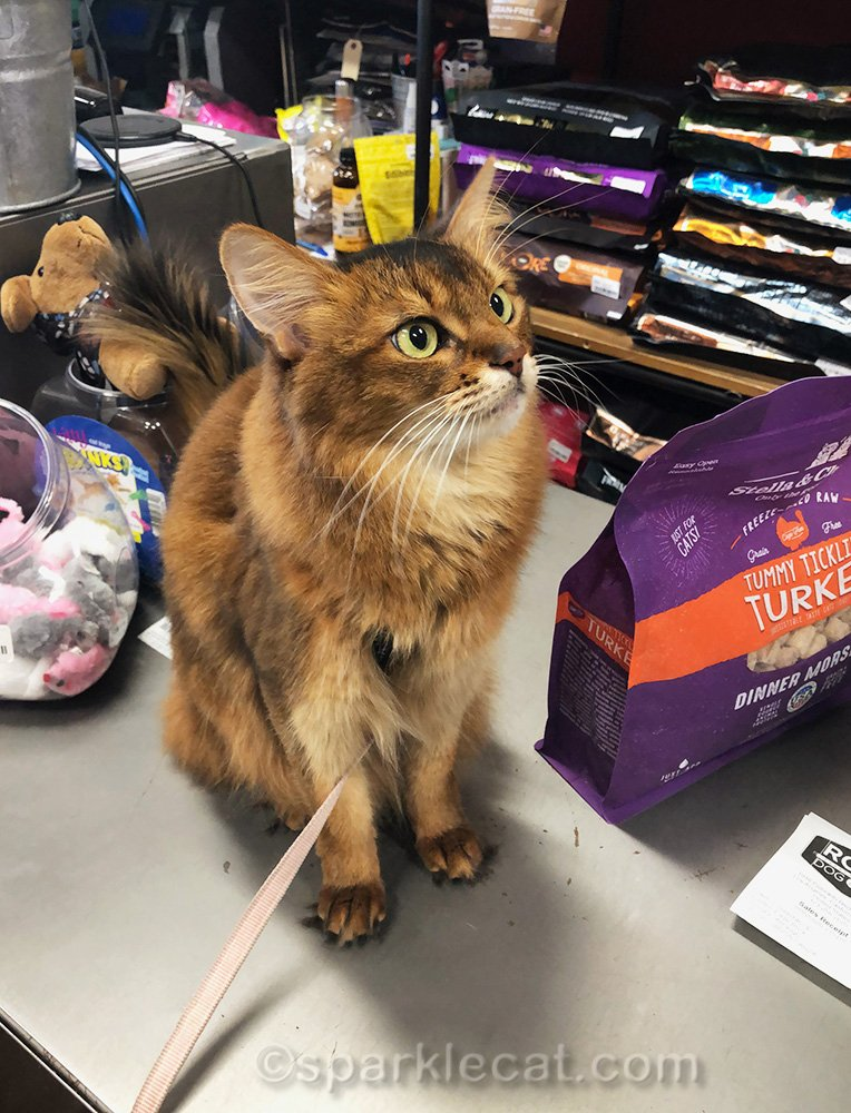 somali cat on pet shop counter