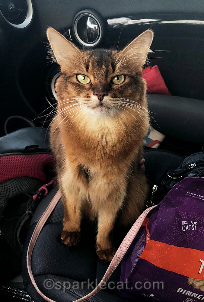 somali cat in car, ready to go home