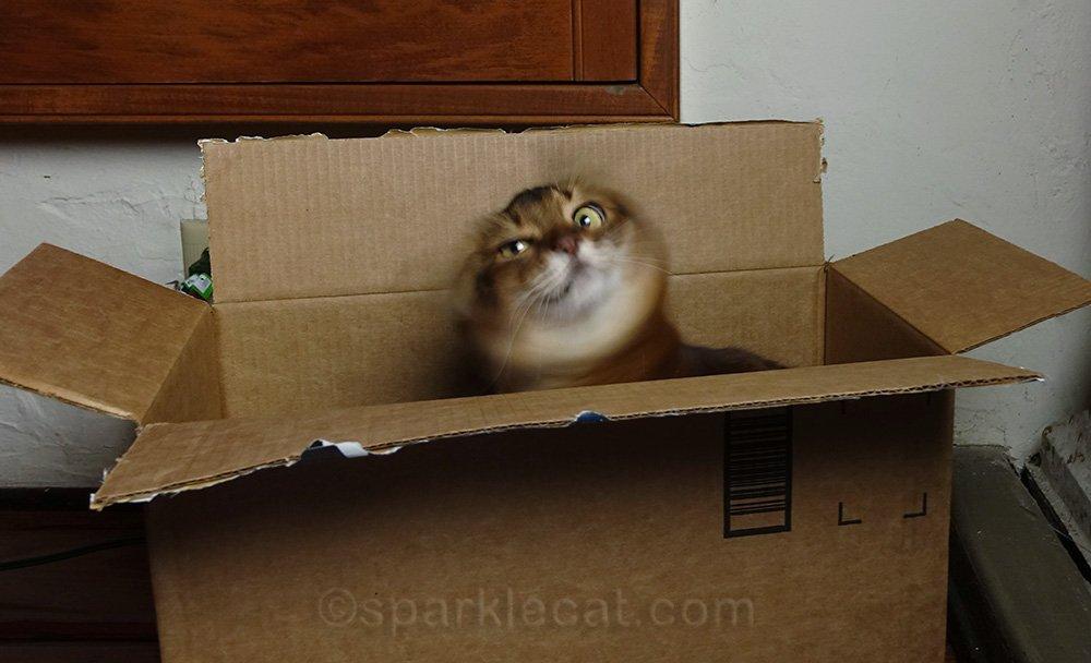 somali cat in box, shaking head