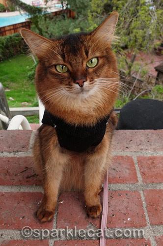somali cat in cat sweater on patio