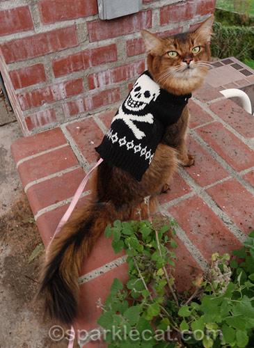 somali cat wearing skull sweater