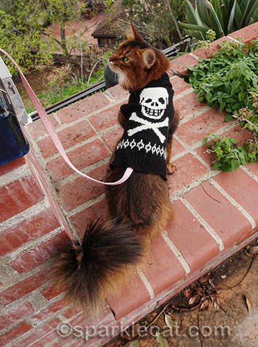 somali cat showing off back of skull sweater