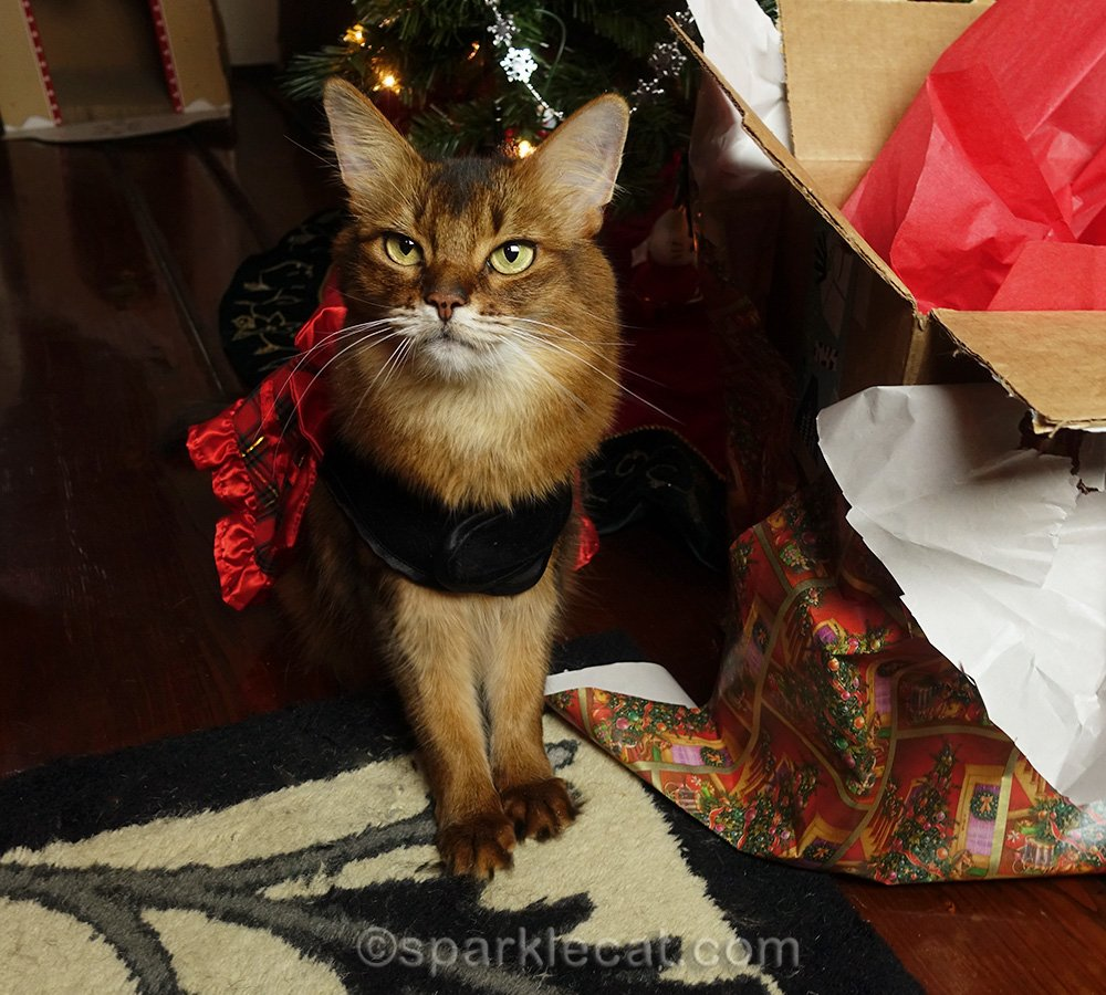 somali cat in holiday dress by Christmas tree