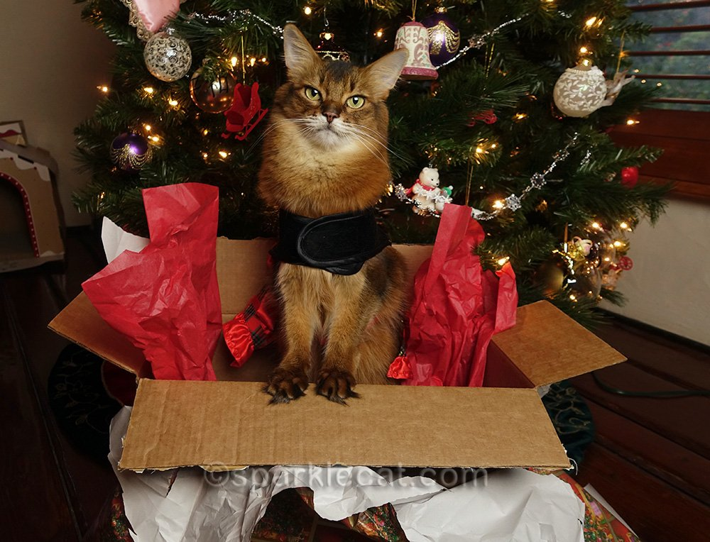 somali cat in gift box in front of Christmas tree