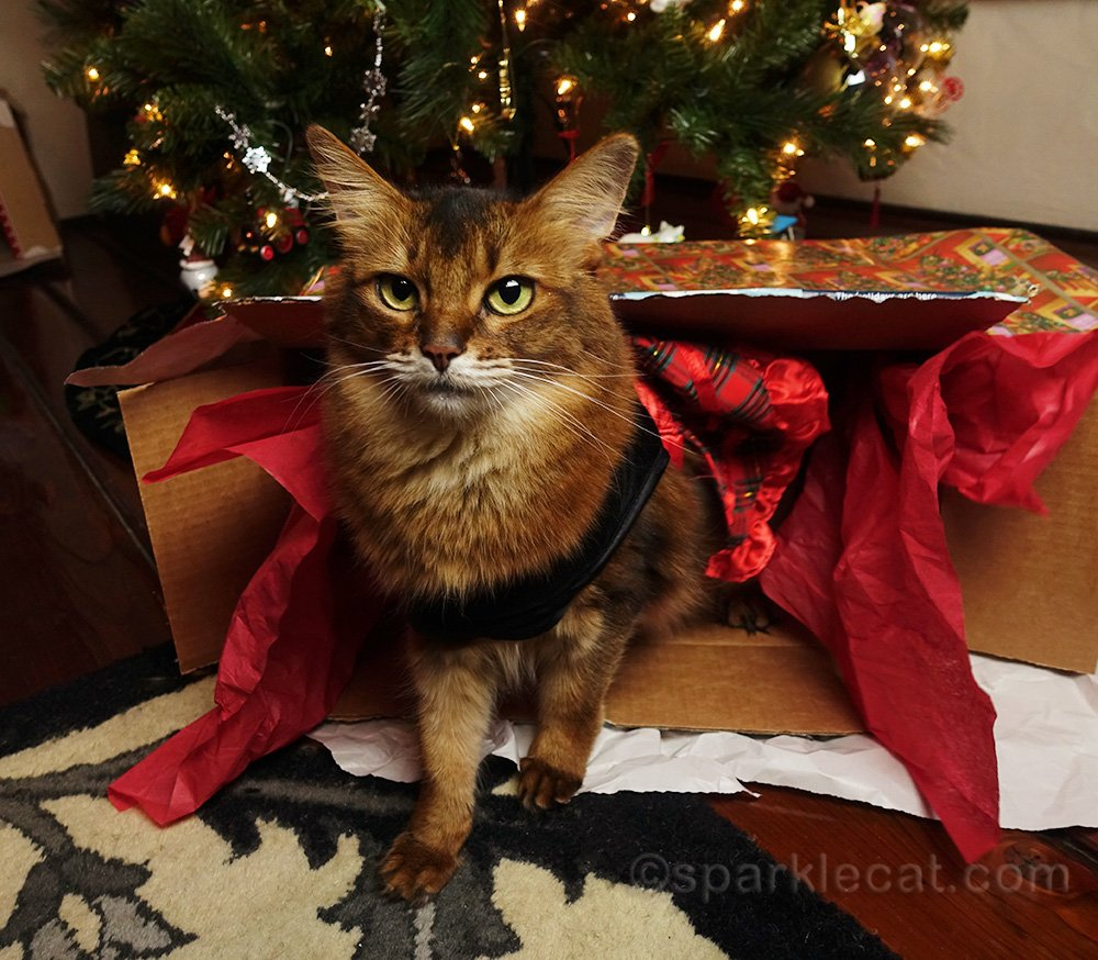 somali cat in holiday dress with box on its side in front of Christmas tree